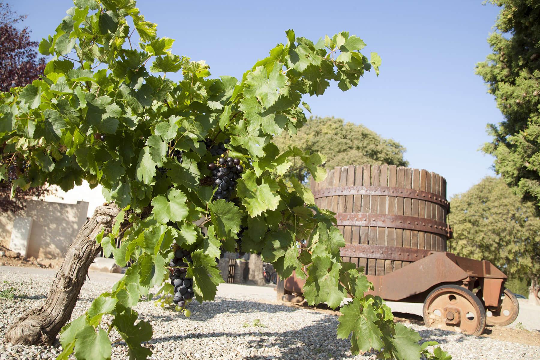 vignes exterieur mas de thau vin